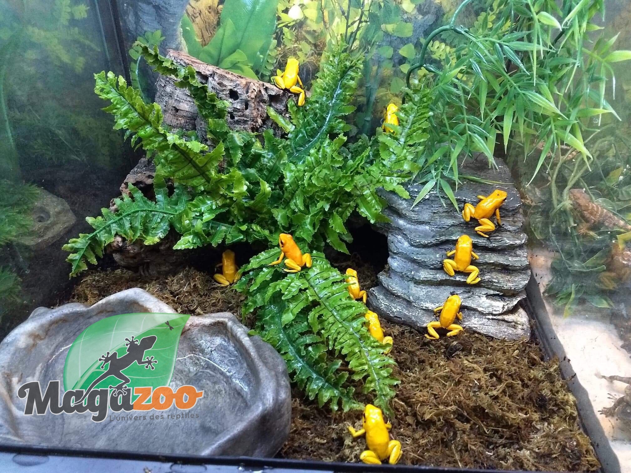 Magazoo Grenouille poison Phyllobates aterribilis Jaune