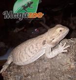 Dragon barbu femelle adulte