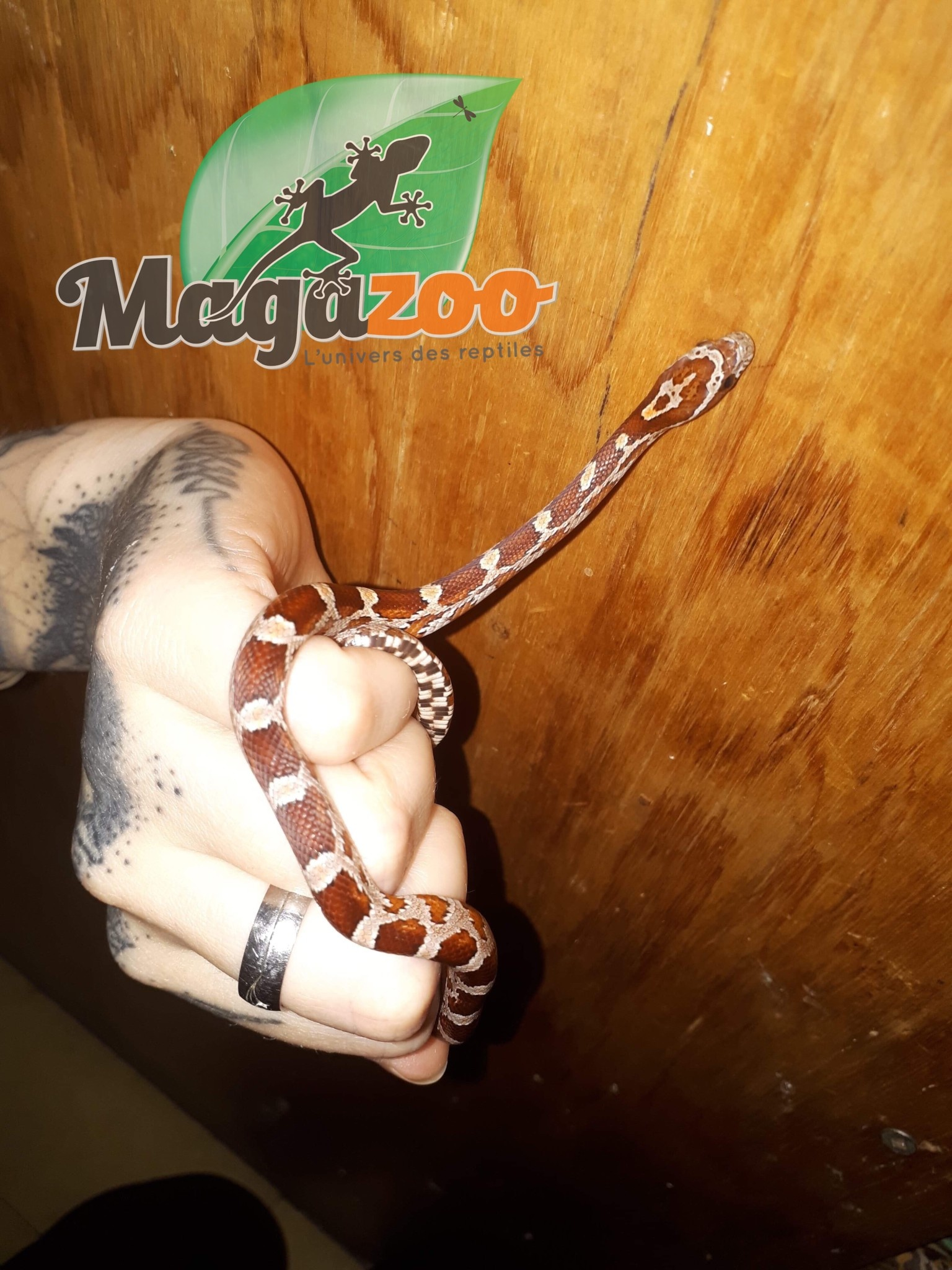 Magazoo Serpent des blés Régulier bébé femelle