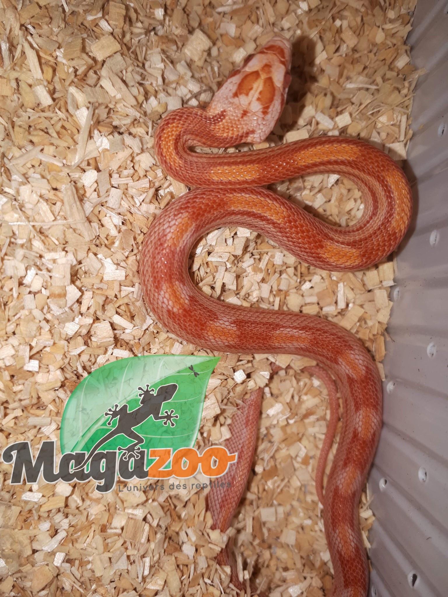 Magazoo Serpent des blés albino motley bébé Femelle