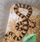 Magazoo Serpent roi variable Mâle