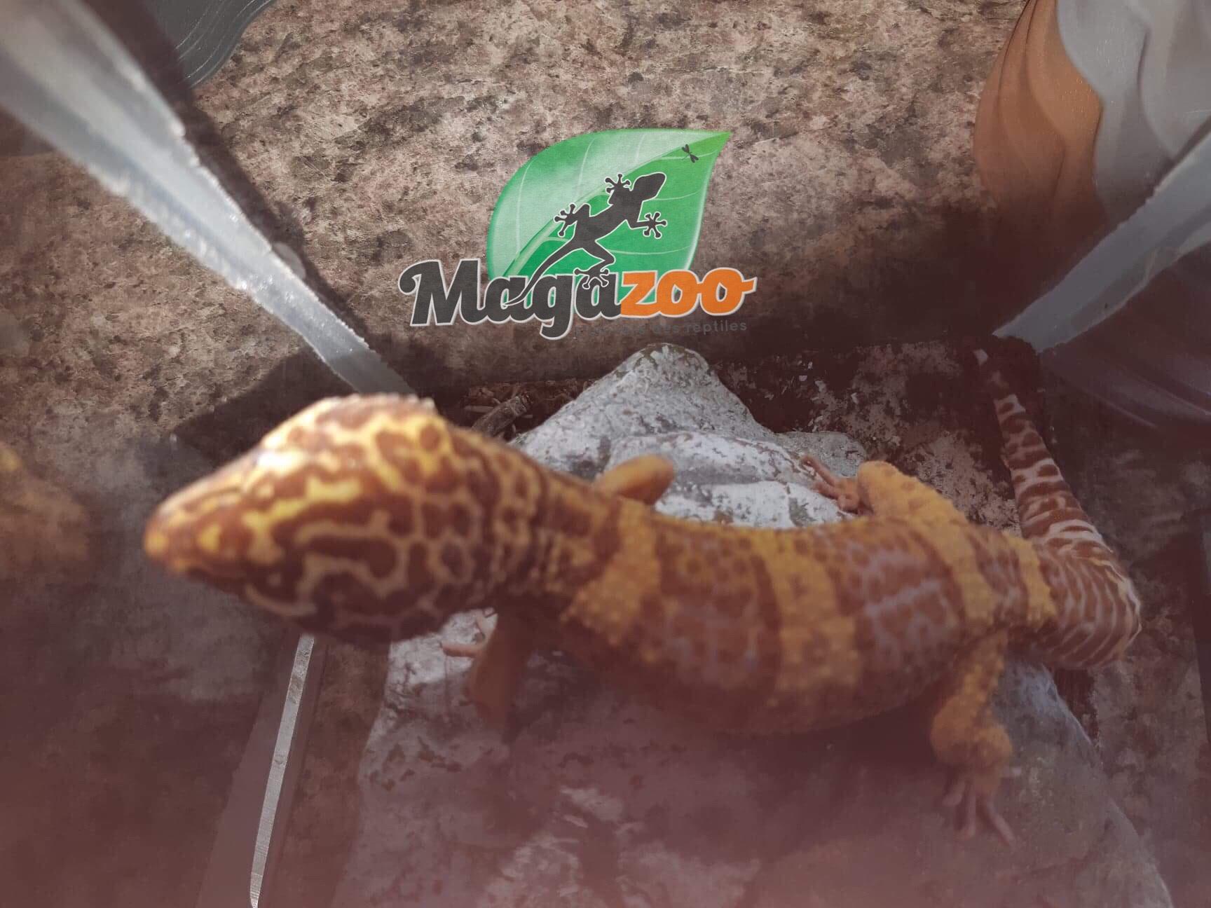 Magazoo Gecko Léopard Mack Snow Tremper Albino Mâle