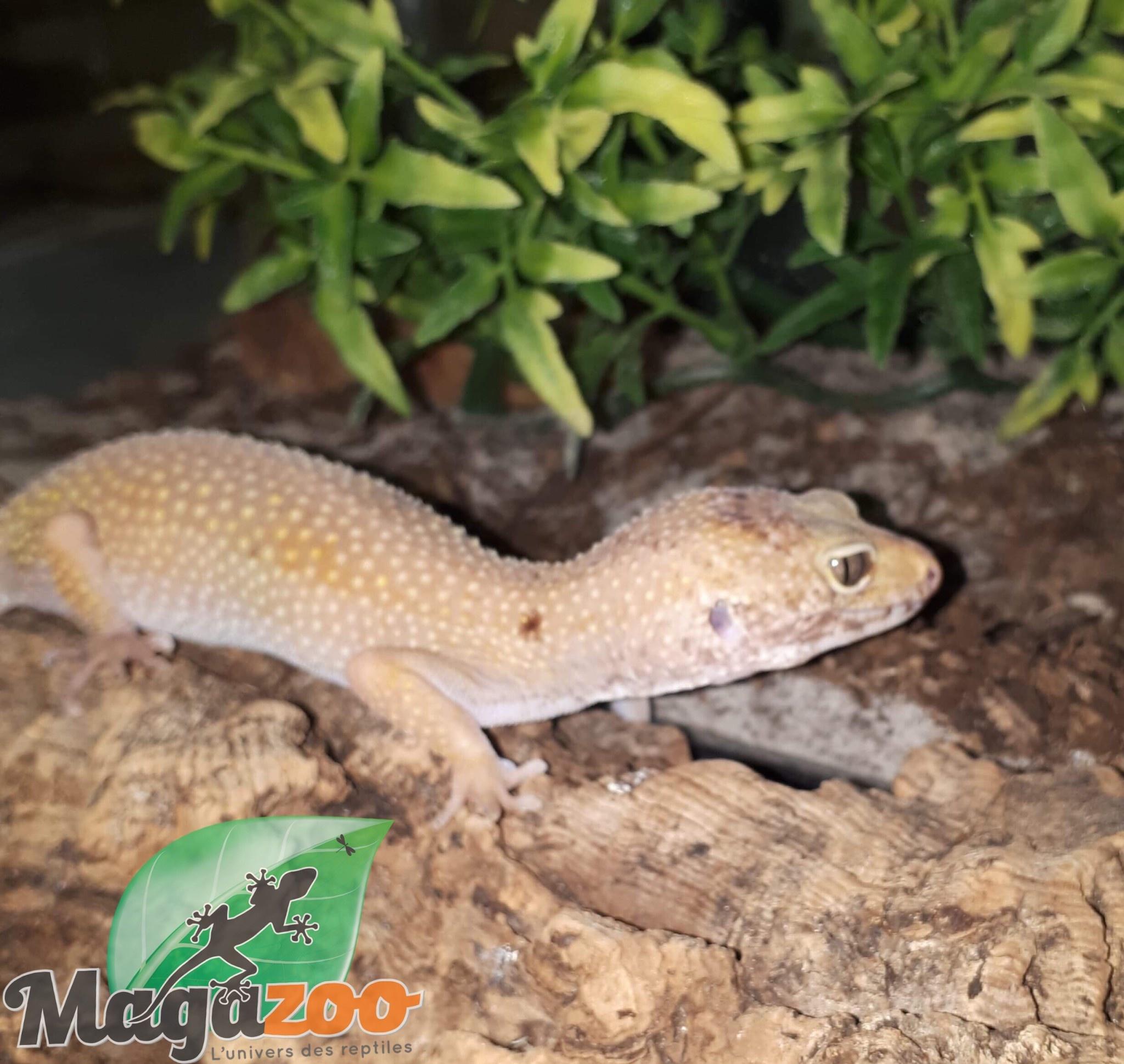 Magazoo Gecko léopard Enigma tangerine femelle - Adoption - 2ième chance