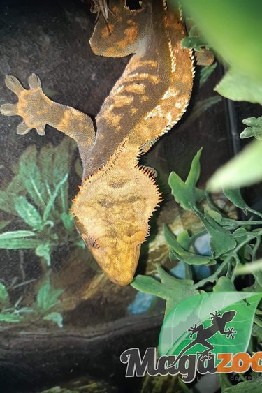 Magazoo Gecko a crête mâle Dalmatien, Pinstripe, Blonde (sans queue)
