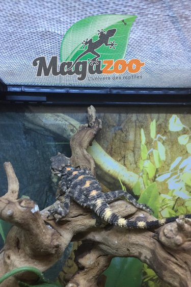 Magazoo Agames peint mâle nés en captivité 2019