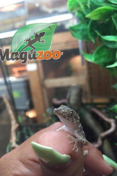 Magazoo Gecko Roche Baluch