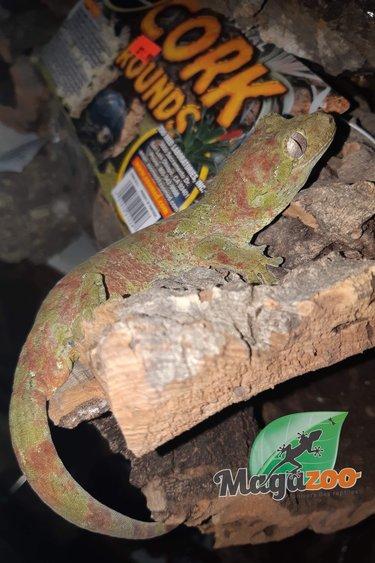 Magazoo Gecko chahoua Pine Isle femelle