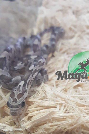 Magazoo Serpent des Blés Anerythristique (het Butter Snow)
