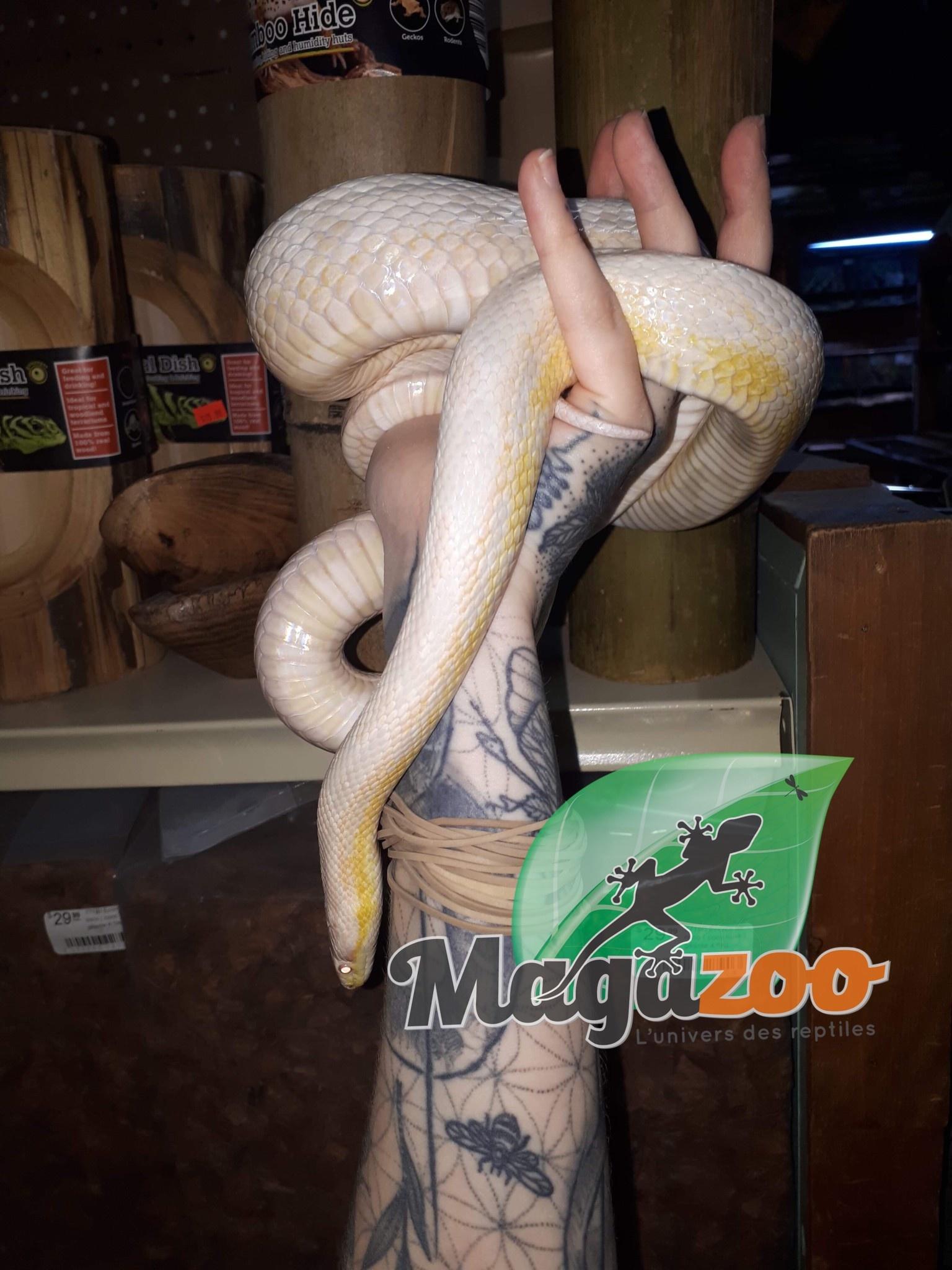 Magazoo Serpent des blés snow  Mâle