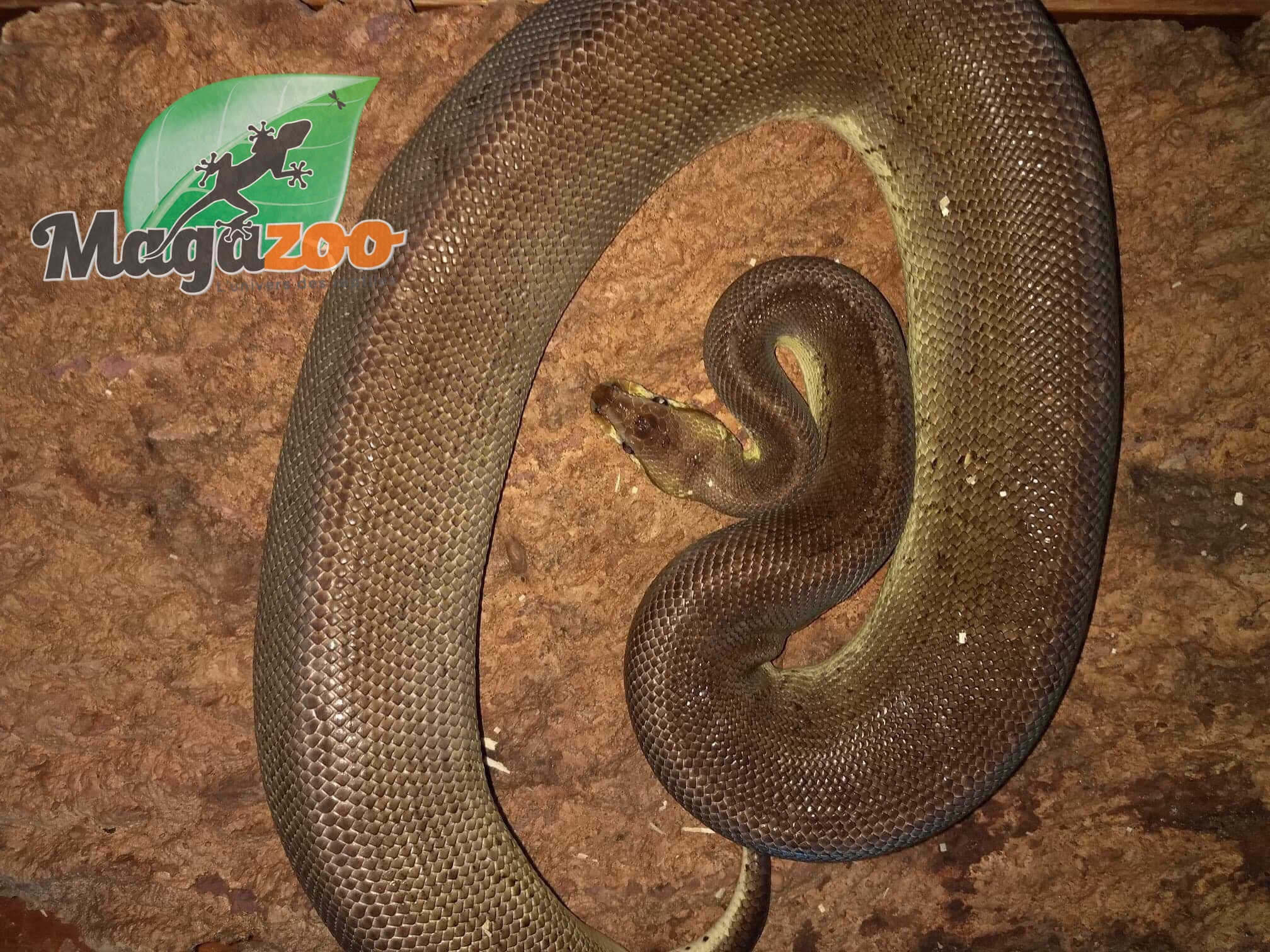 Magazoo Python royal Pewter Pinstripe Mâle  adulte