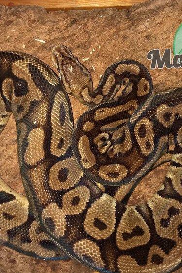 Magazoo Python royal pastel femelle adulte