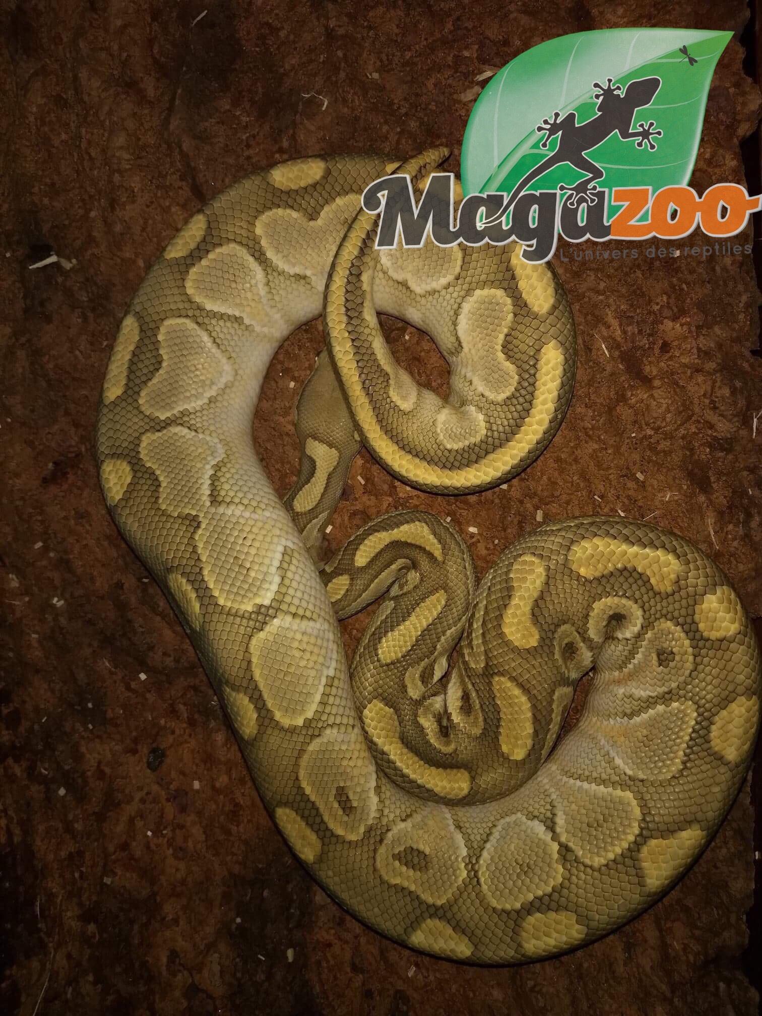 Magazoo Python royal Butter Hypo mâle