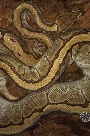 Magazoo Python royal  Lesser Pinstripe femelle