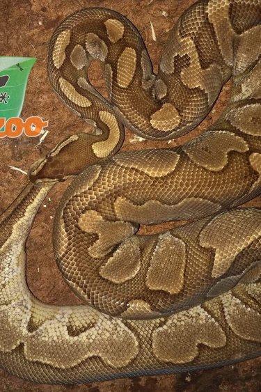 Magazoo Python Royal Lesser Platinum Femelle