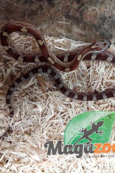 Magazoo Serpent des Blés Amber Blood mâle