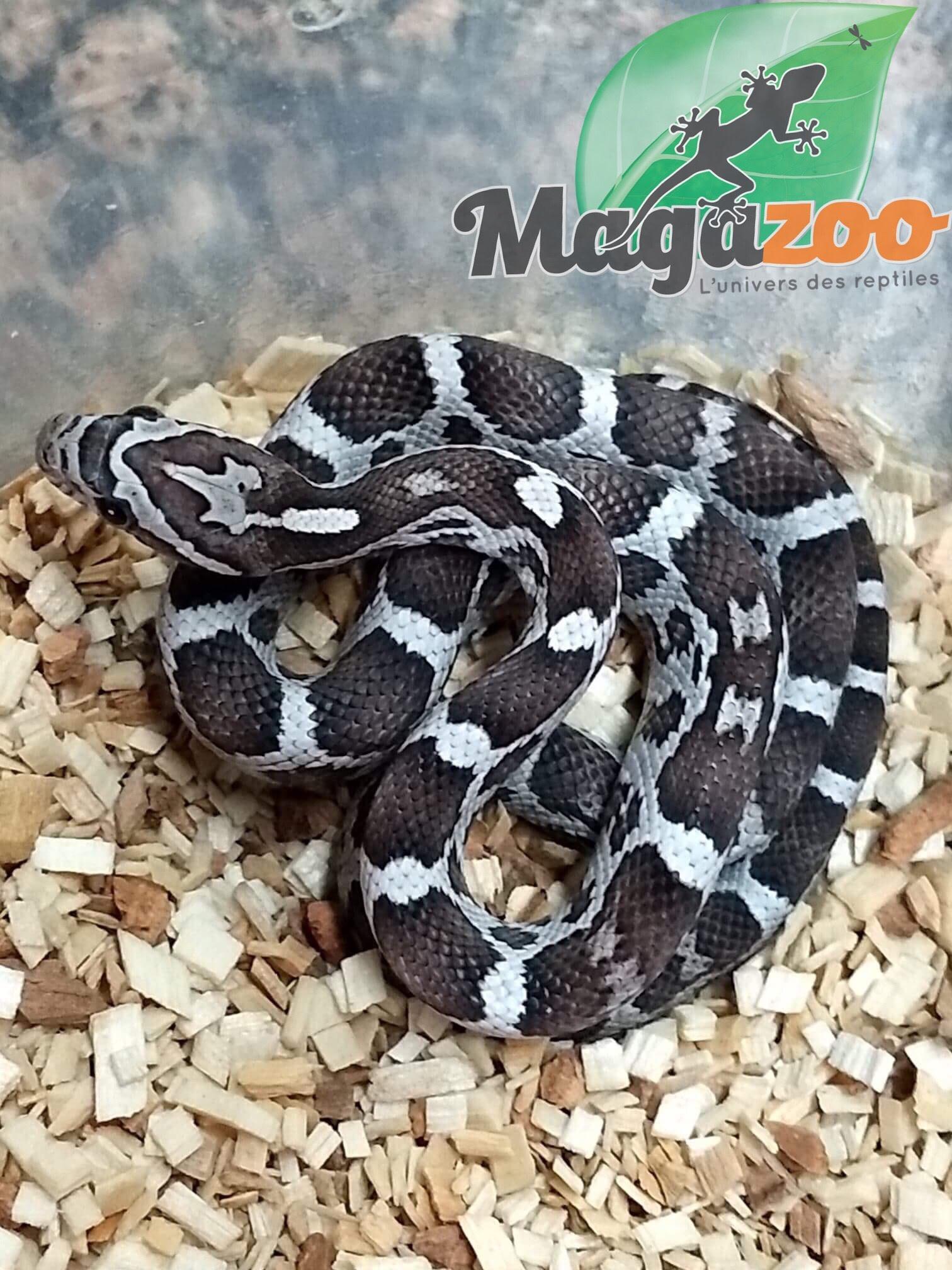 Magazoo Serpent des Blés Noir femelle