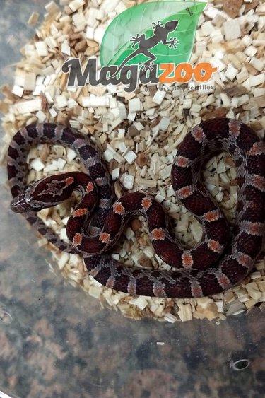Magazoo Serpent des Blés régulier Mâle