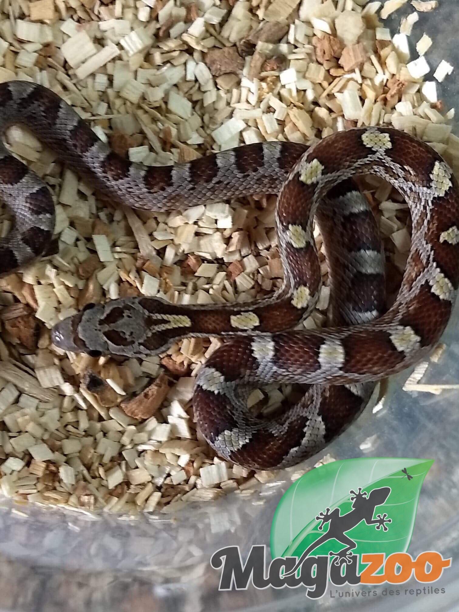 Magazoo Serpent des Blés Caramel Blood