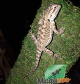 Magazoo Dragon barbu bébé