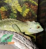 Magazoo Basilic vert Mâle jeune adulte queue repoussée Adoption - 2ième chance