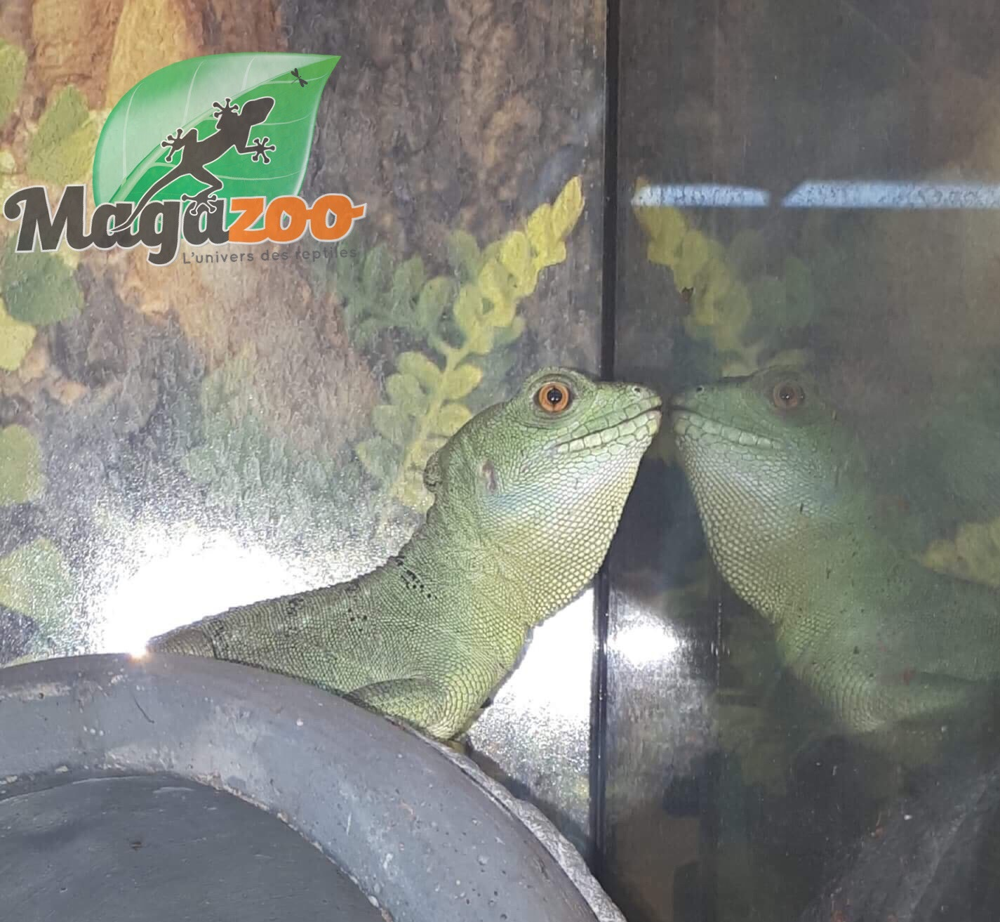 Magazoo Basilic vert femelle juvenil