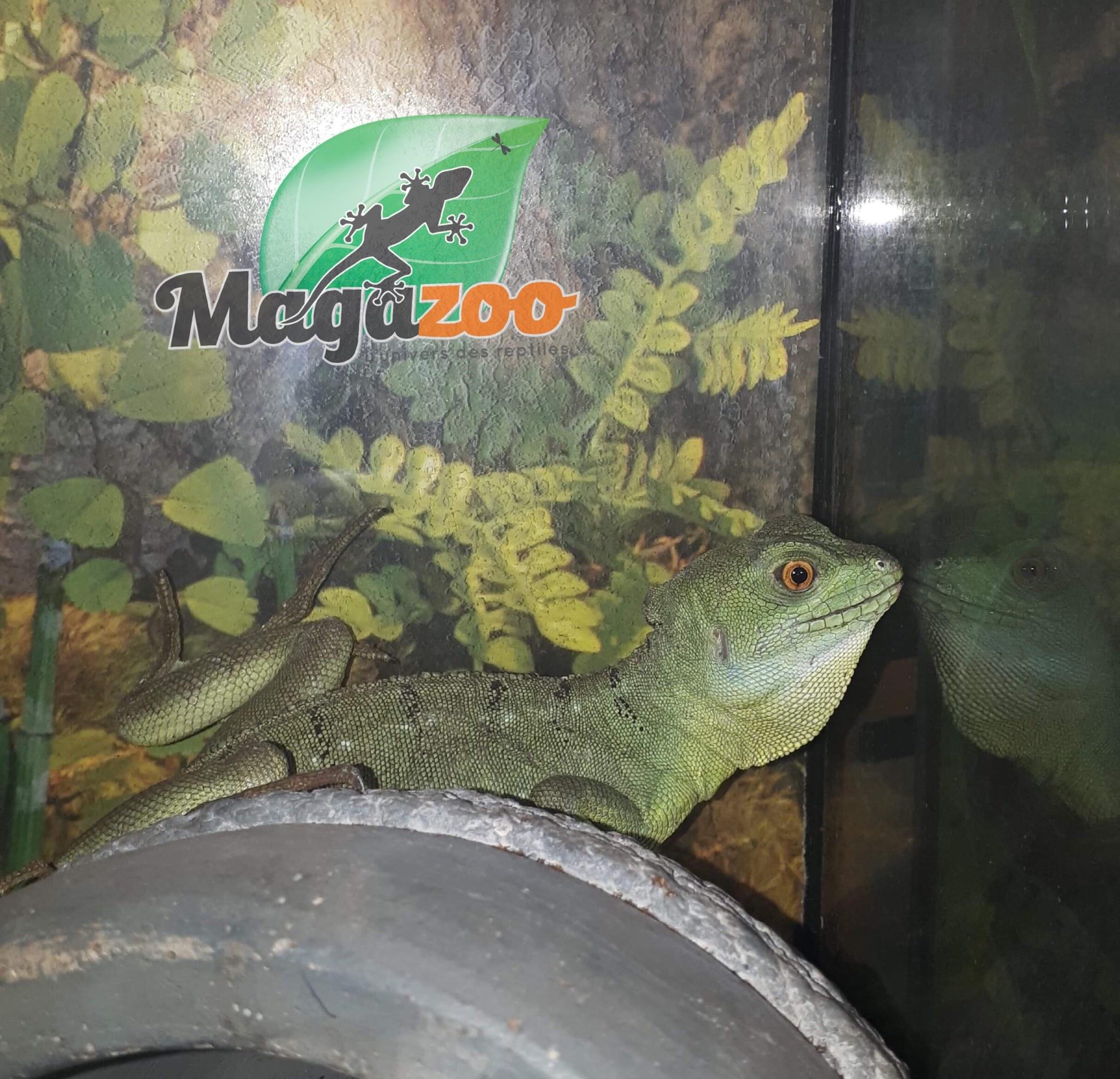 Magazoo Basilic vert femelle jeune adulte queue repousée Adoption - 2ième chance