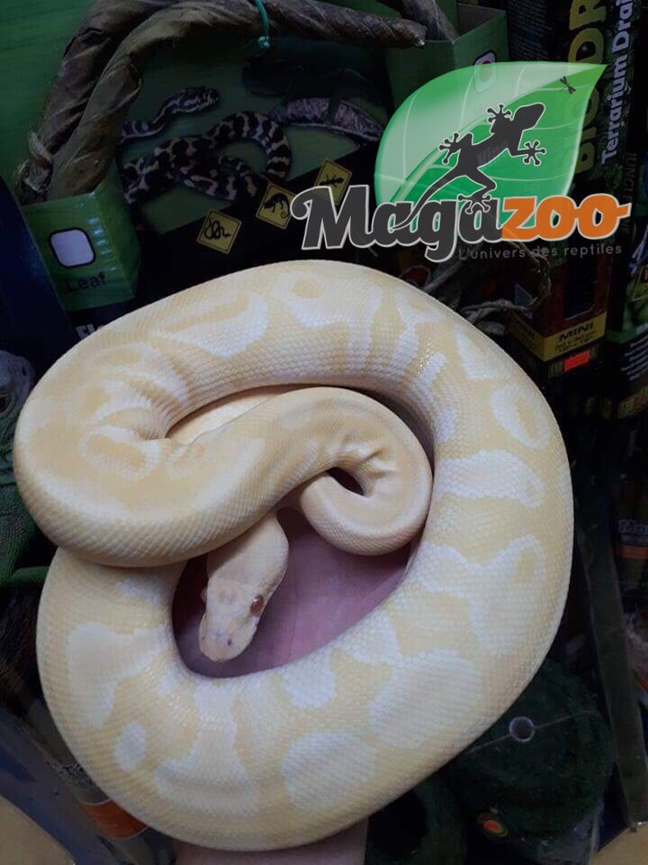Python royal Albinos Lesser Femelle