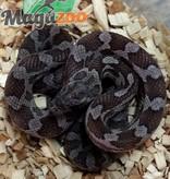 Magazoo Serpent des Blés Charcoal mâle