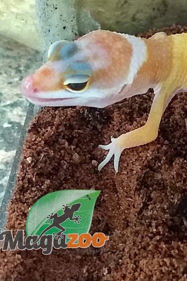 Magazoo Gecko léopard bébé ''hypo tangerine''