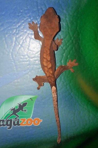 Magazoo Gecko à crête harlequin tiger