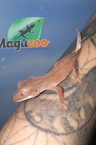 Magazoo Gecko à Crête Patternless Bébé