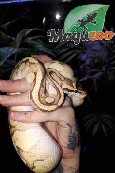 Magazoo Python Royal Enchi Vanilla Fire Mâle