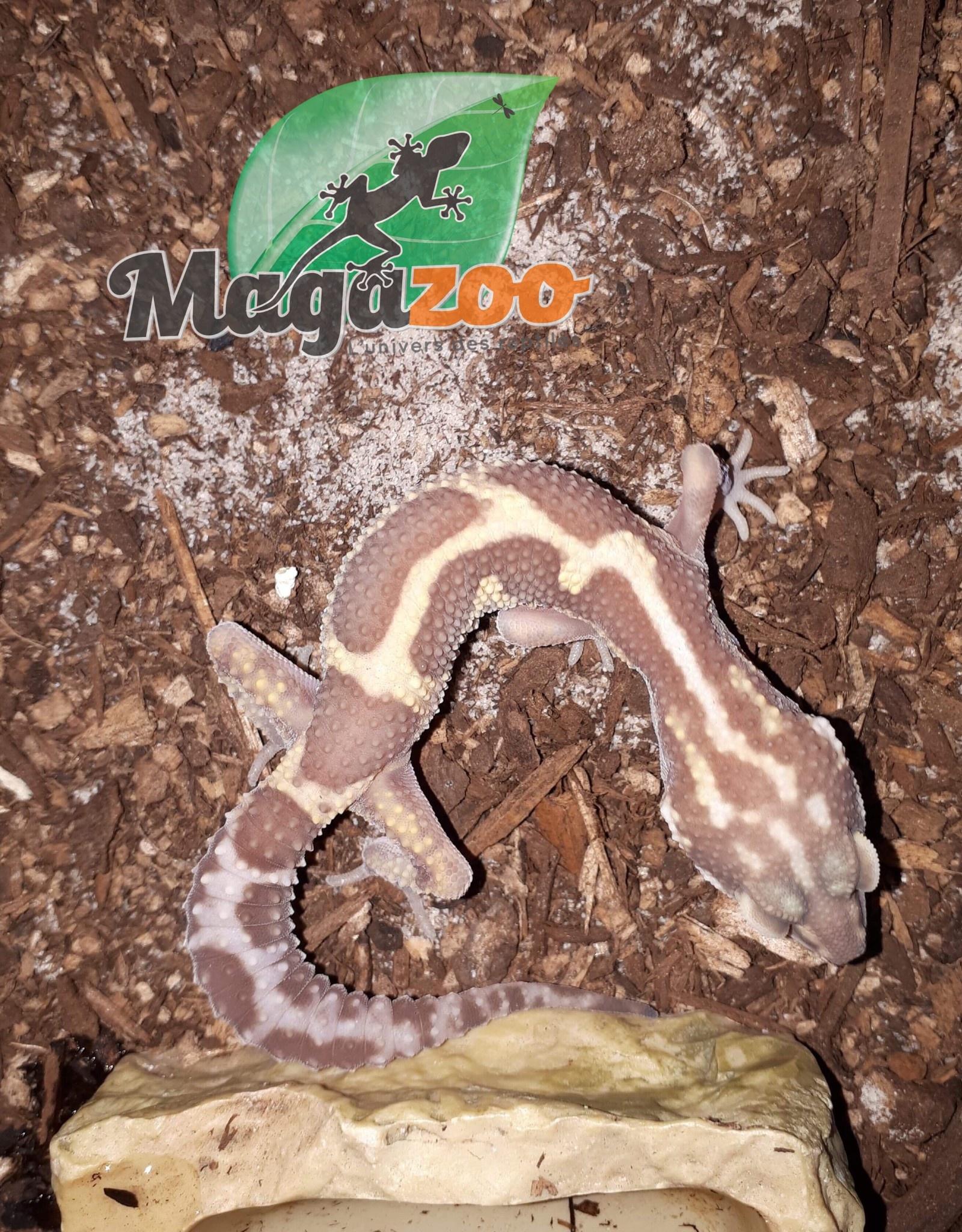 Magazoo Gecko léopard tremper mack snow albino poss.reverse stripe giant femelle