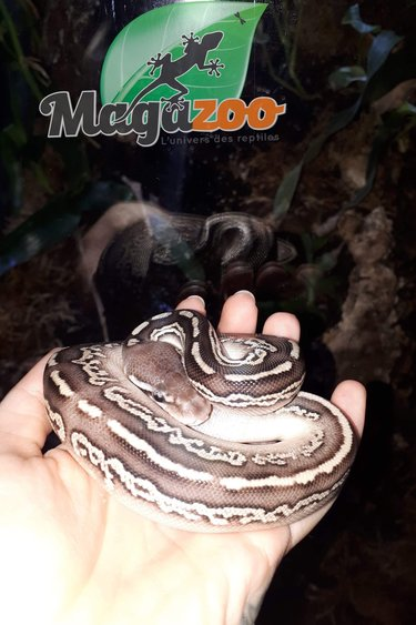 Magazoo Python royal black pewter mojave femelle