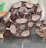 Magazoo Boa constricteur Colombien Bébé femelle