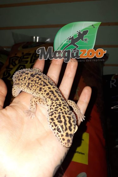 Gecko léopard Femelle Adulte 2e chance
