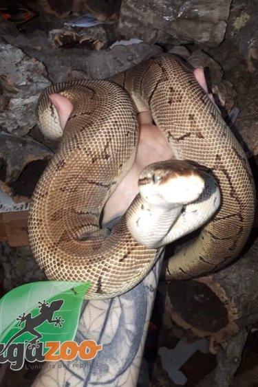 Python Royal Lemonblast Mâle Adulte