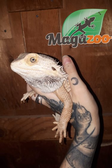 Magazoo Dragon barbu Mâle Adulte Adoption - 2ième chance