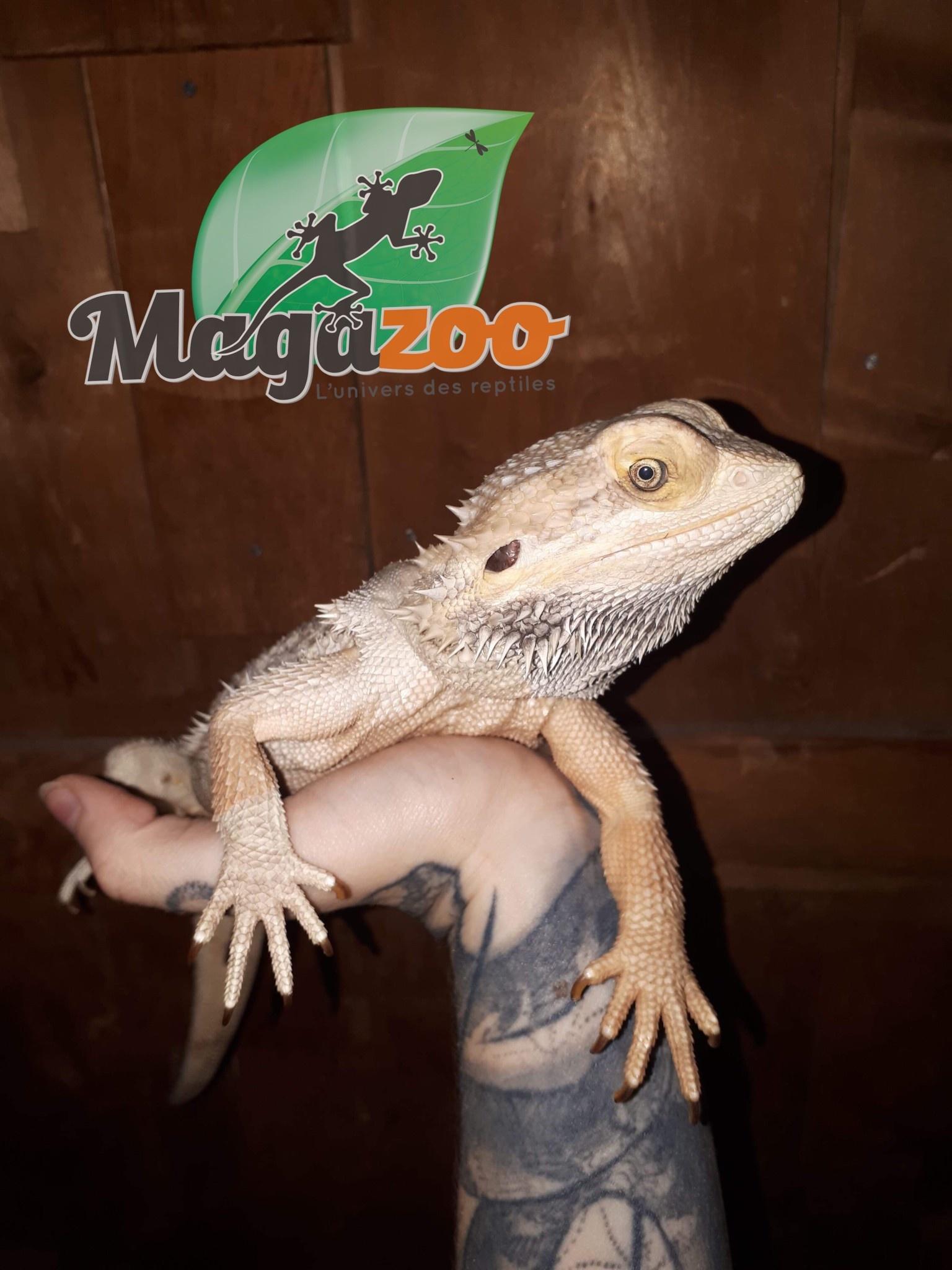 Magazoo Dragon barbu Mâle Adulte Adoption - 2ième chance