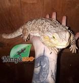 Magazoo Dragon Barbu Mâle Senior Adoption - 2ième chance