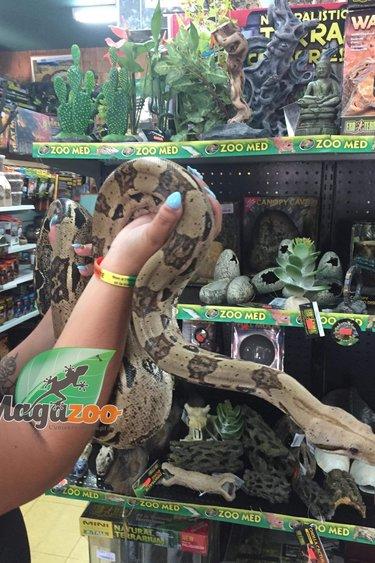 Magazoo Boa constricteur colombien mâle
