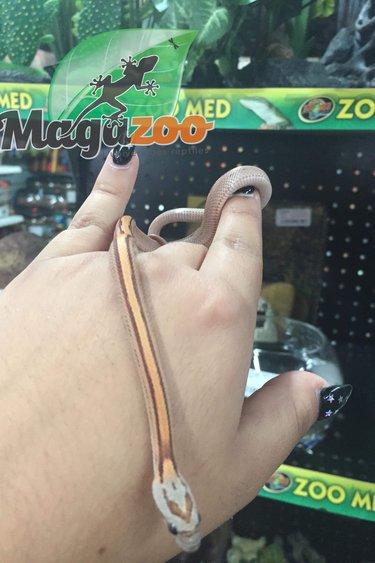 Magazoo Serpent des Blés Stripe femelle