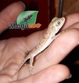 Magazoo Gecko Petri Mâle