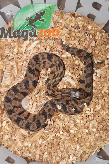 Serpent d'eau de Floride (Nerodia Floridana)