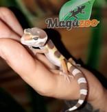 Magazoo Gecko léopard Tremper Albino Bébé