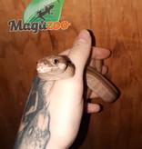 Magazoo Boa constrictor Motley ( albinos T+) Mâle