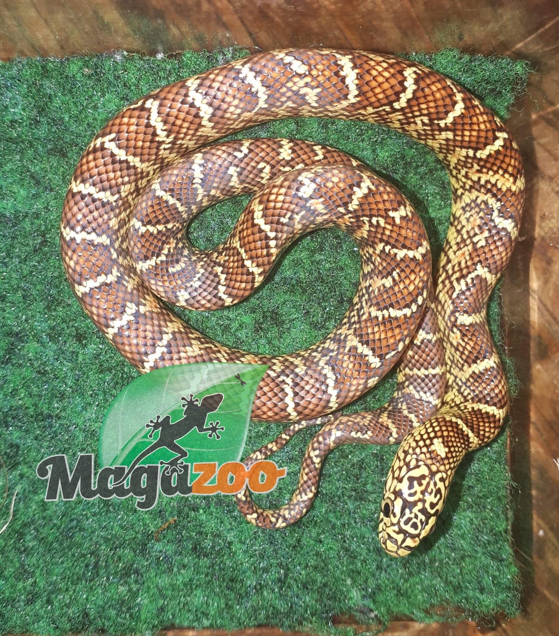 Magazoo Serpent Roi Brooks Hypo femelle bébé