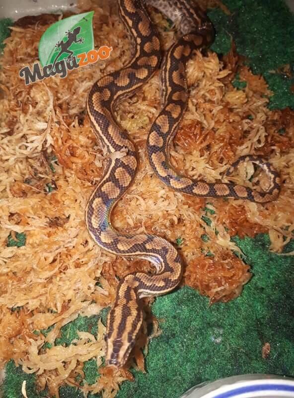 Magazoo Boa arc-en-ciel de Guyane bébé femelle