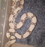 Magazoo Boa Constricteur Ghost Het Moonglow