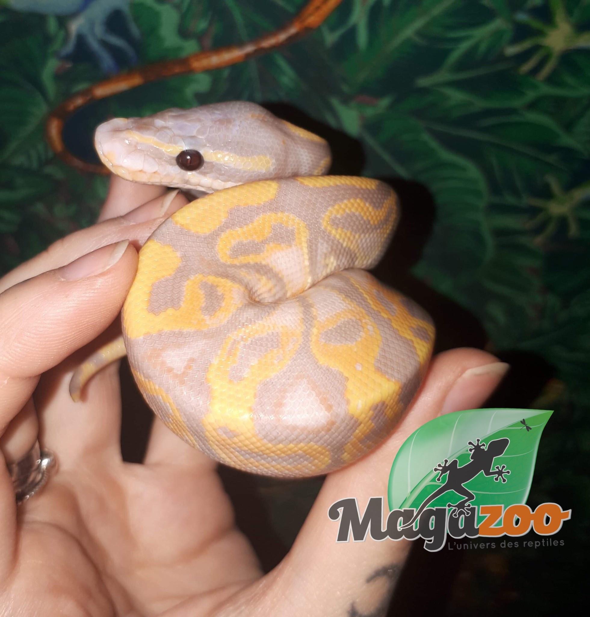 Magazoo Python Royal Banana Yellow Belly Mâle